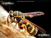 beesleucospid wasp
